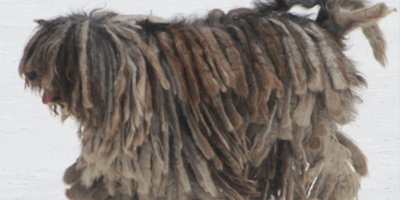 24 Honden die niet (of nauwelijks) verharen 4