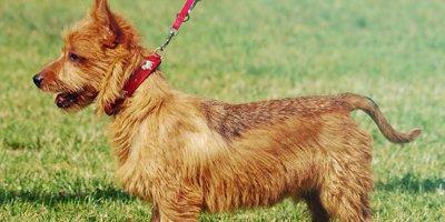 24 Honden die niet (of nauwelijks) verharen 14