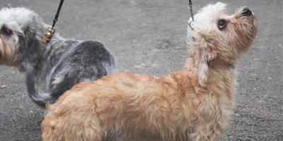 24 Honden die niet (of nauwelijks) verharen 2