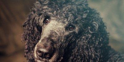 24 Honden die niet (of nauwelijks) verharen 8