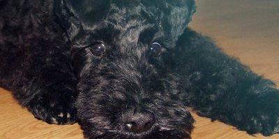 24 Honden die niet (of nauwelijks) verharen 12