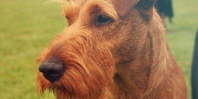 24 Honden die niet (of nauwelijks) verharen 10