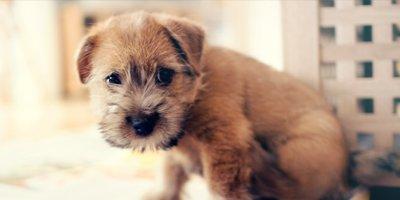 24 Honden die niet (of nauwelijks) verharen 11