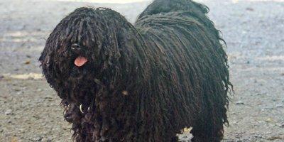 24 Honden die niet (of nauwelijks) verharen 7