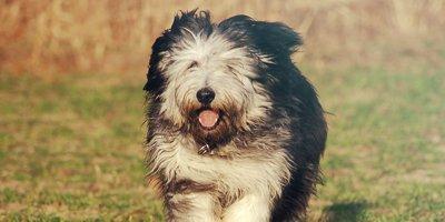 24 Honden die niet (of nauwelijks) verharen 3