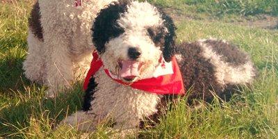 24 Honden die niet (of nauwelijks) verharen 5